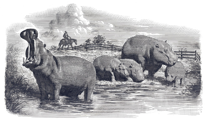 """Just imagine, thriving hippo ranches in the bayous of the American south providing alternative meat sources, such as """"lake cow bacon."""" [Image Mark Summer from Wired, Dec 20, 2013]"""